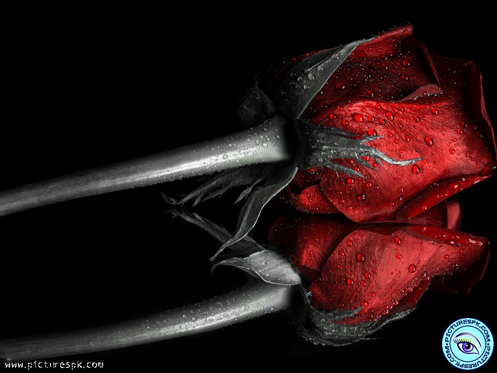 Related Pictures dark red roses wallpaper 1024x768