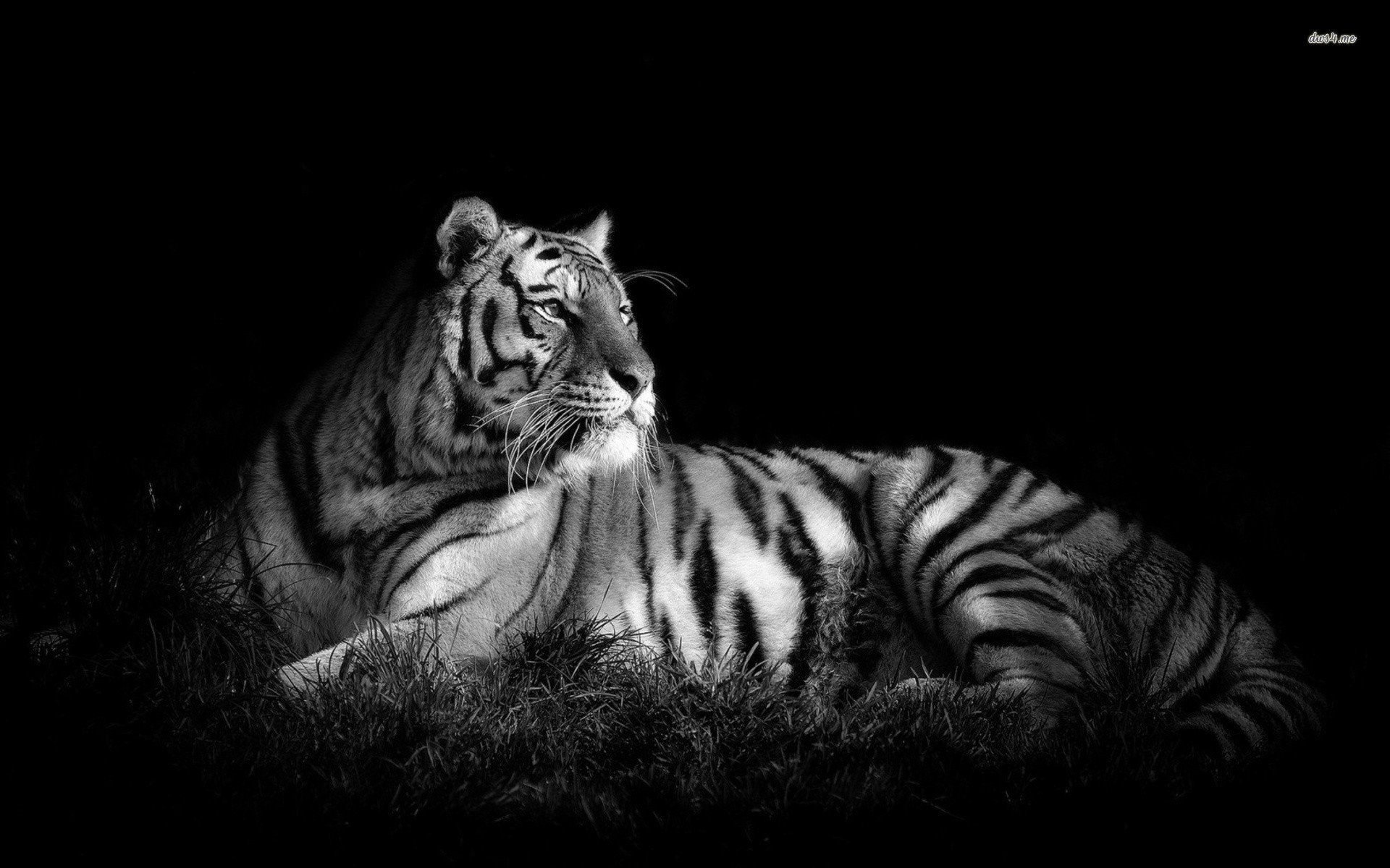 Black and white tiger wallpaper wallpapersafari - Tiger hd wallpaper for pc ...