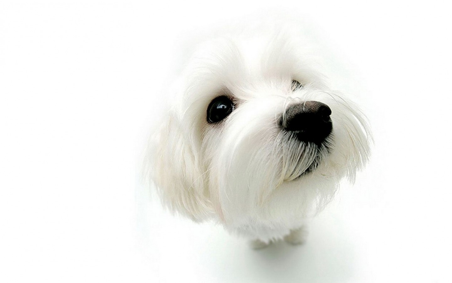 Free Download White Dogs Hd Wallpapers Page 0 High Resolution 1440x900 For Your Desktop Mobile Tablet Explore 75 White Dog Wallpaper Black And White Dog Wallpaper