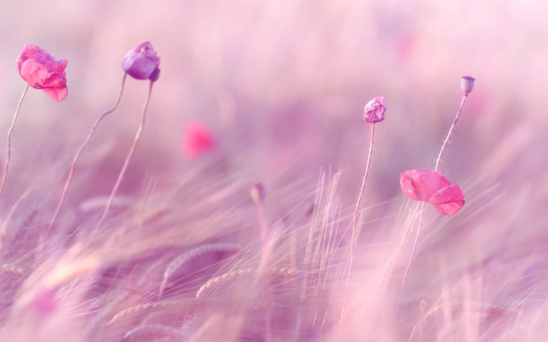 Pink Purple Flowers Field HD Wallpapers