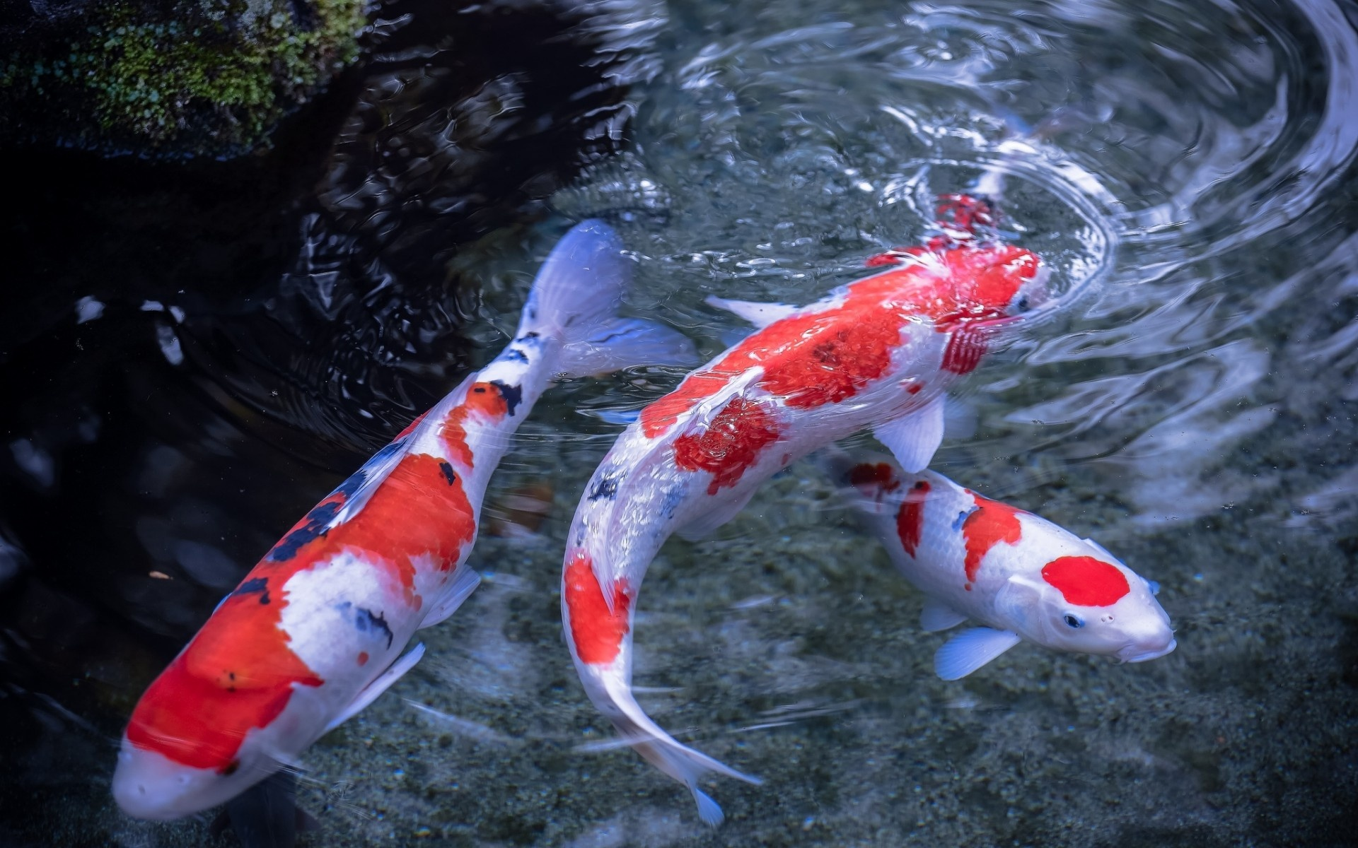 Wallpaper japanese carp koi fish water pond desktop 1920x1200