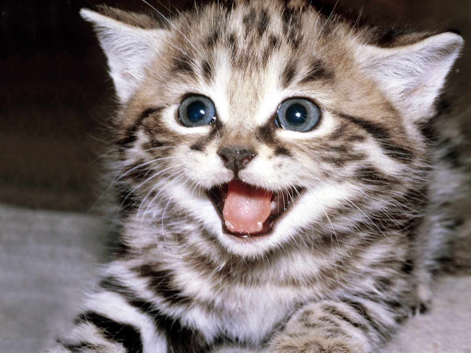 Animals Beautiful Sweet Great Funny Cute Cat Background   high 1600x1200