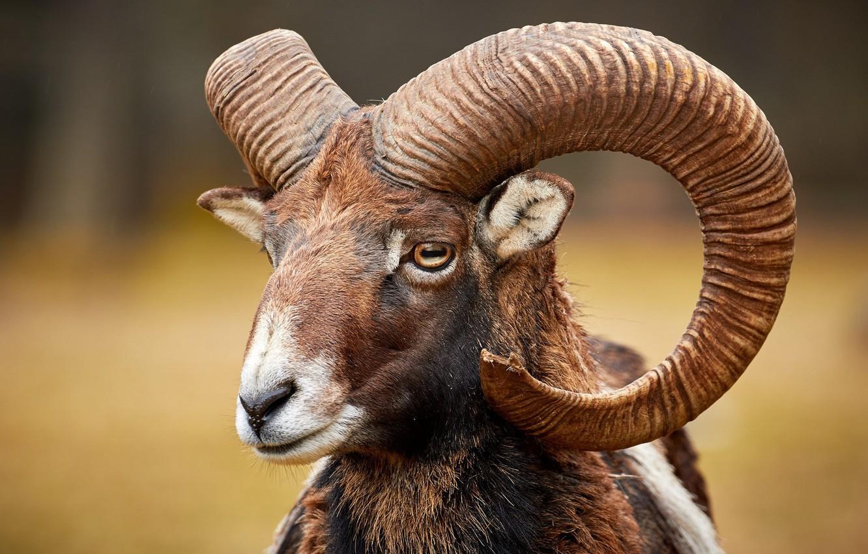 Wallpaper face horns RAM mouflon images for desktop section 1332x850