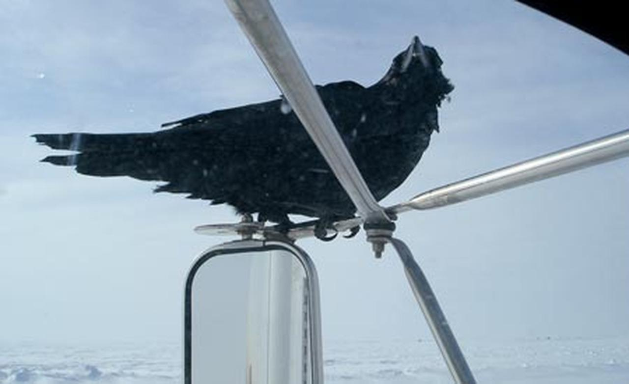 be available feed a raven and he ll follow your truck for five or so 1280x782