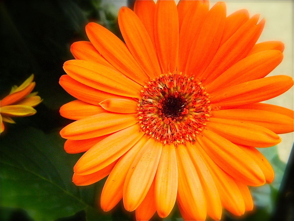 Orange Gerbera Daisy Flowers Wallpapers Orange Gerbera Daisy Flowers 1024x768
