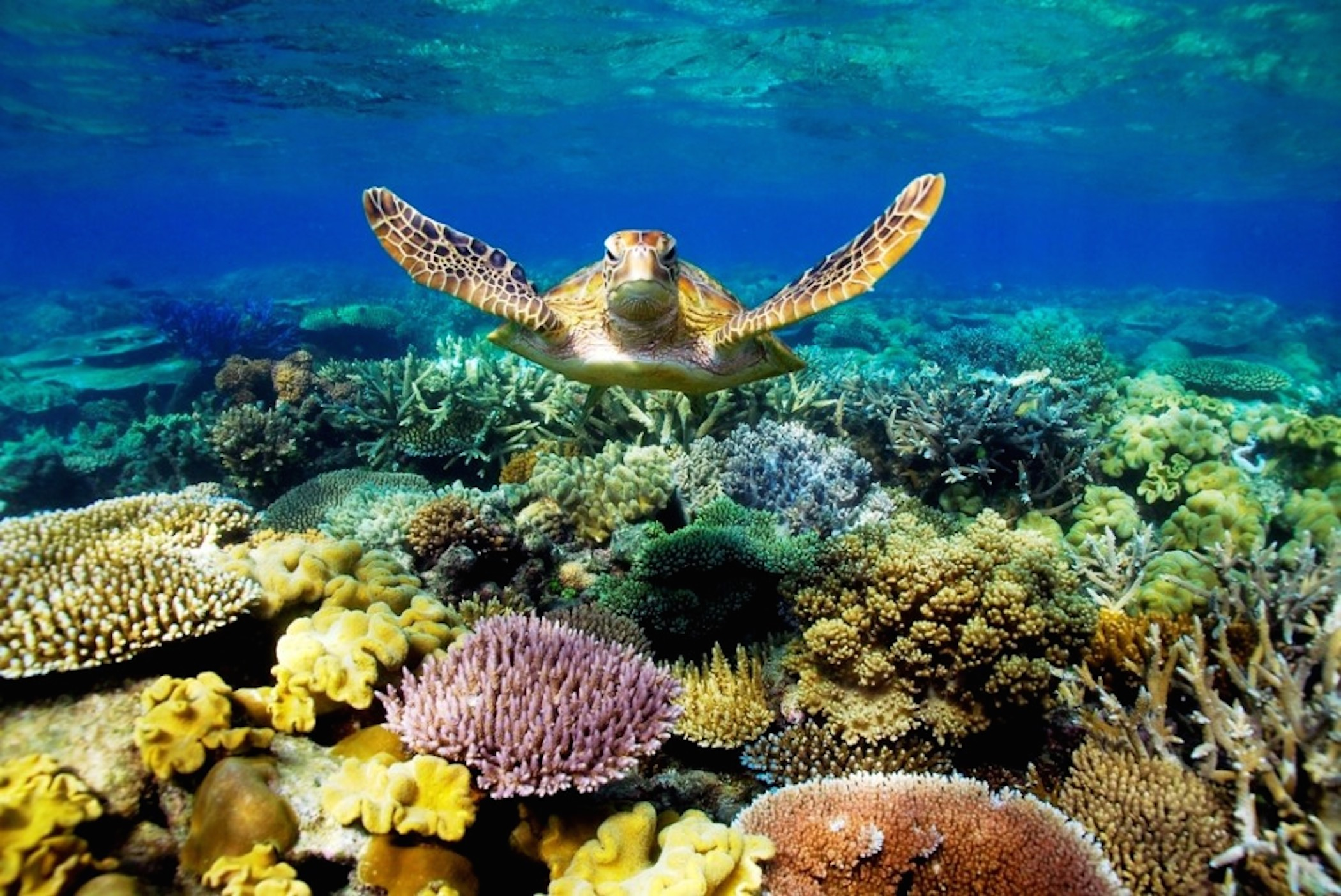 Great Barrier Reef Turtle Wallpaper   HD Download 2100x1403