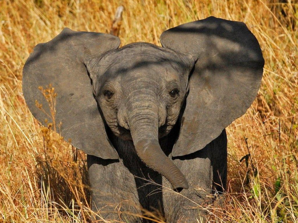 Baby Elephant Wallpapers 1024x768