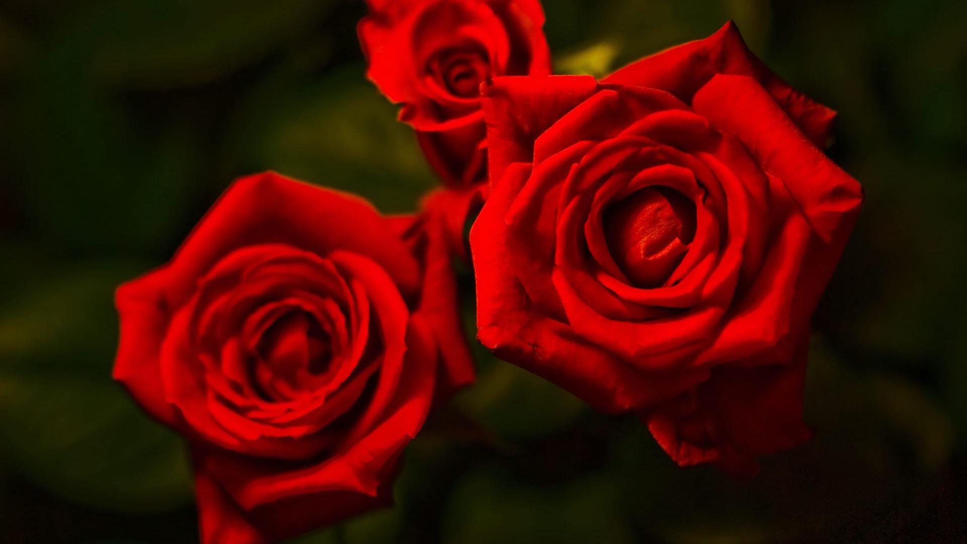 Red roses wallpaper 889 1920x1080