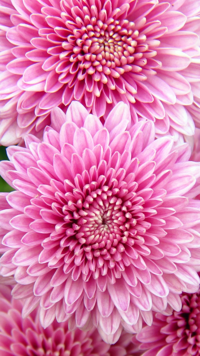 Chrysanthemum Flowers iPhone 5s Wallpaper Download iPhone Wallpapers 640x1136