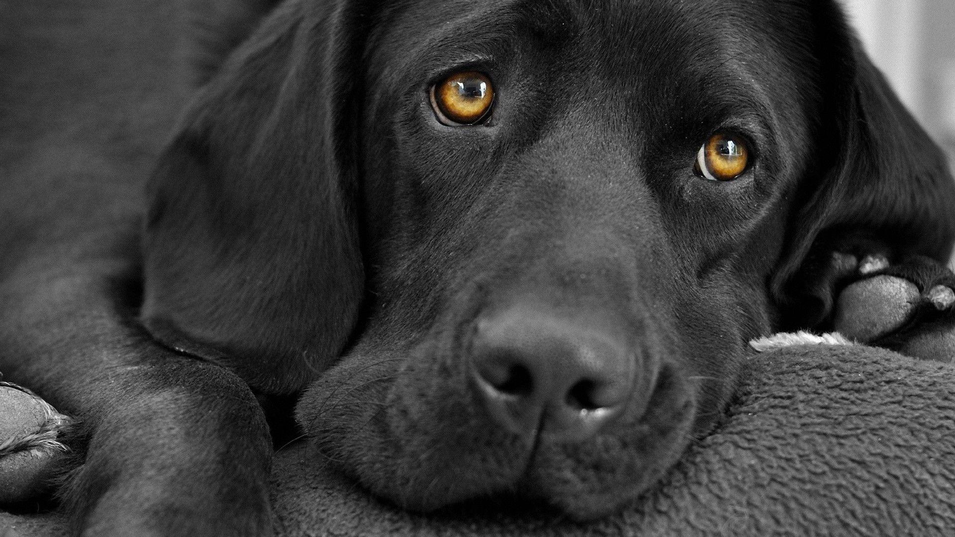 Black Labrador Wallpapers 1920x1080