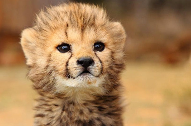 baby cheetah wallpaper hd