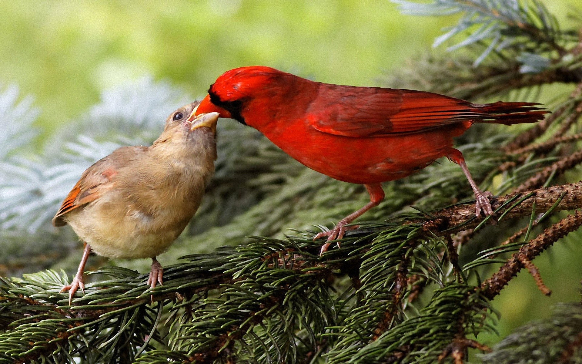 Birds wildlife cardinal wallpaper 1920x1200 199696 WallpaperUP 1920x1200