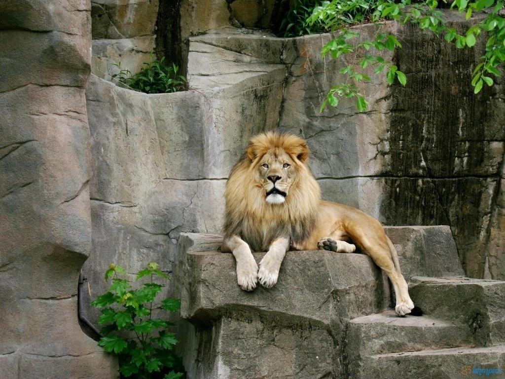 Very Beautiful Lion 1024x768 2666 HD Wallpaper Res 1024x768 1024x768