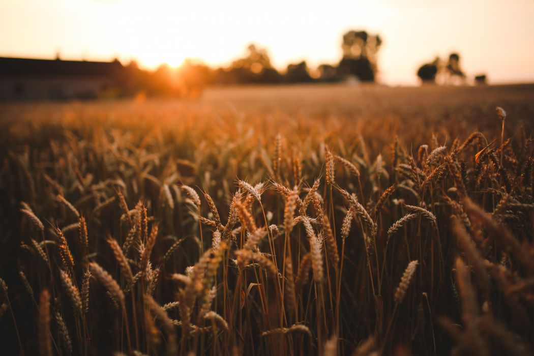 Agriculture field grain harvest rye sunrise sunset wheat wallpaper 1050x700