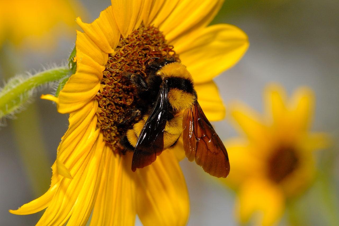 bee bumble bee bumble bee bumble bee bumble bee bumble bee bumble bee 1280x856