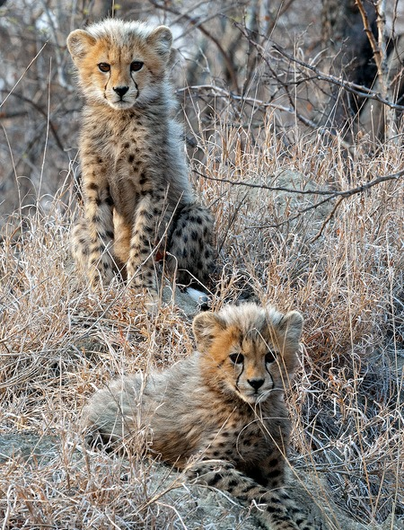 Cheetah Cubs Wallpaper for Phones and Tablets 450x590