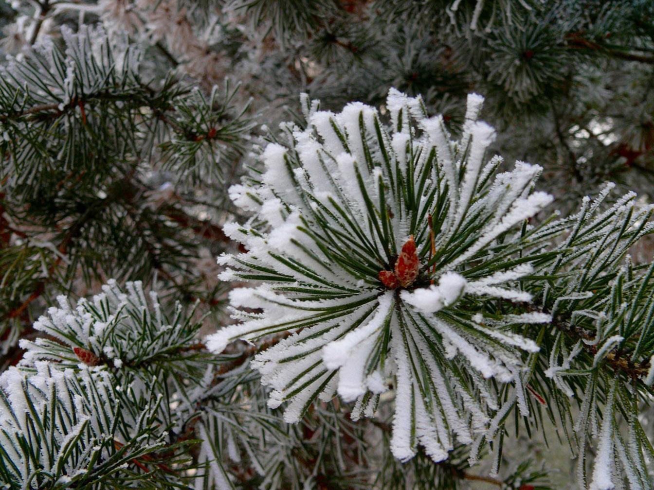 pine tree wallpaper related - photo #26