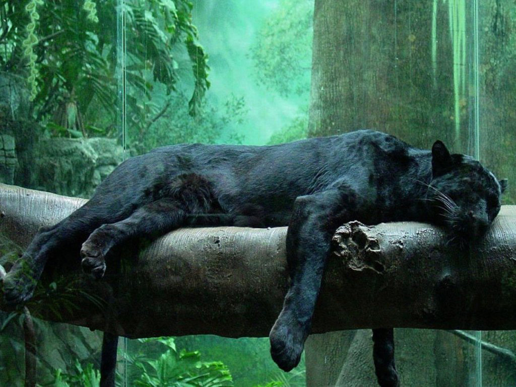 To download click on Black Jungle Cat 3D Wallpaper then choose save 1024x768