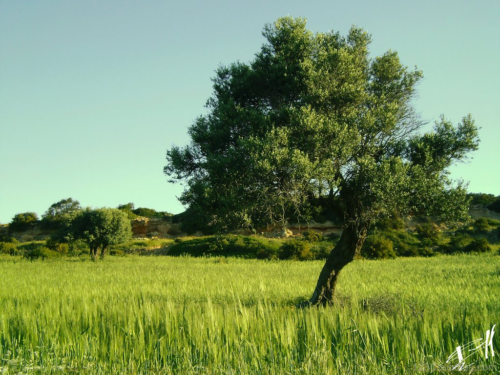National Tree Of Italy  Olive   123Countriescom 1024x768