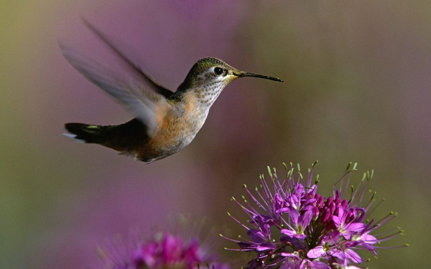 Flowers Wallpaper photo and wallpaper All Hummingbird Flowers 1440x900