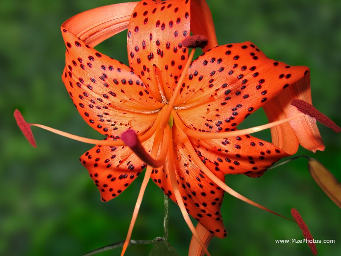 Tiger Lily Photo 1152x864