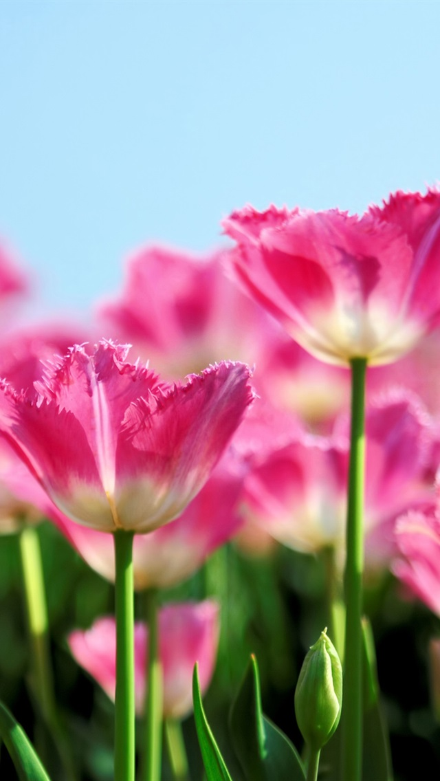 Pink Tulips Wallpaper Iphone Pink tulip flowers bloom in 640x1136