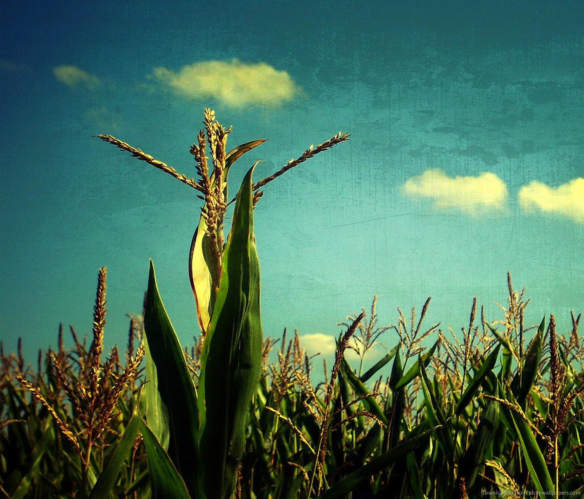 corn fieldjpg 1200x1024