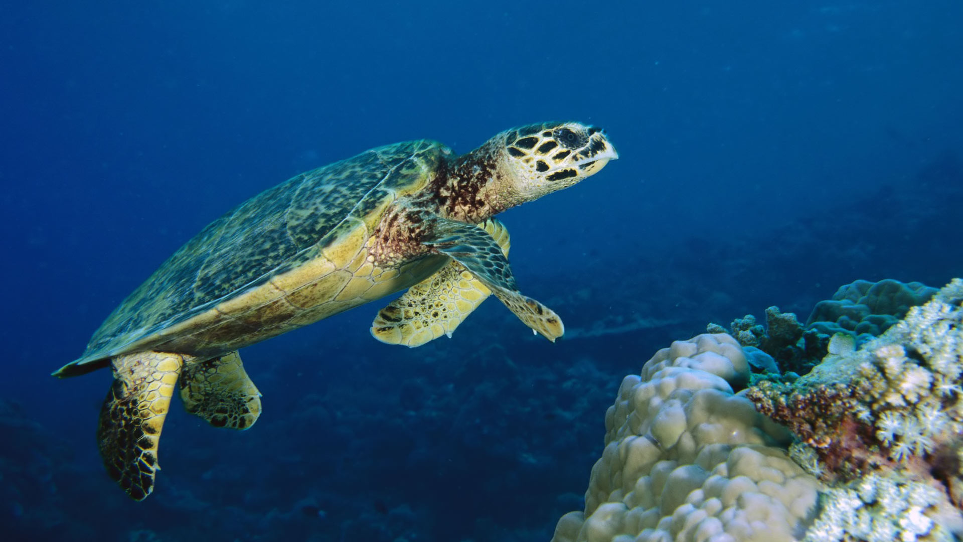 Underwater Sea Turtle 1920x1080 HD Image Animals Marine 1920x1080