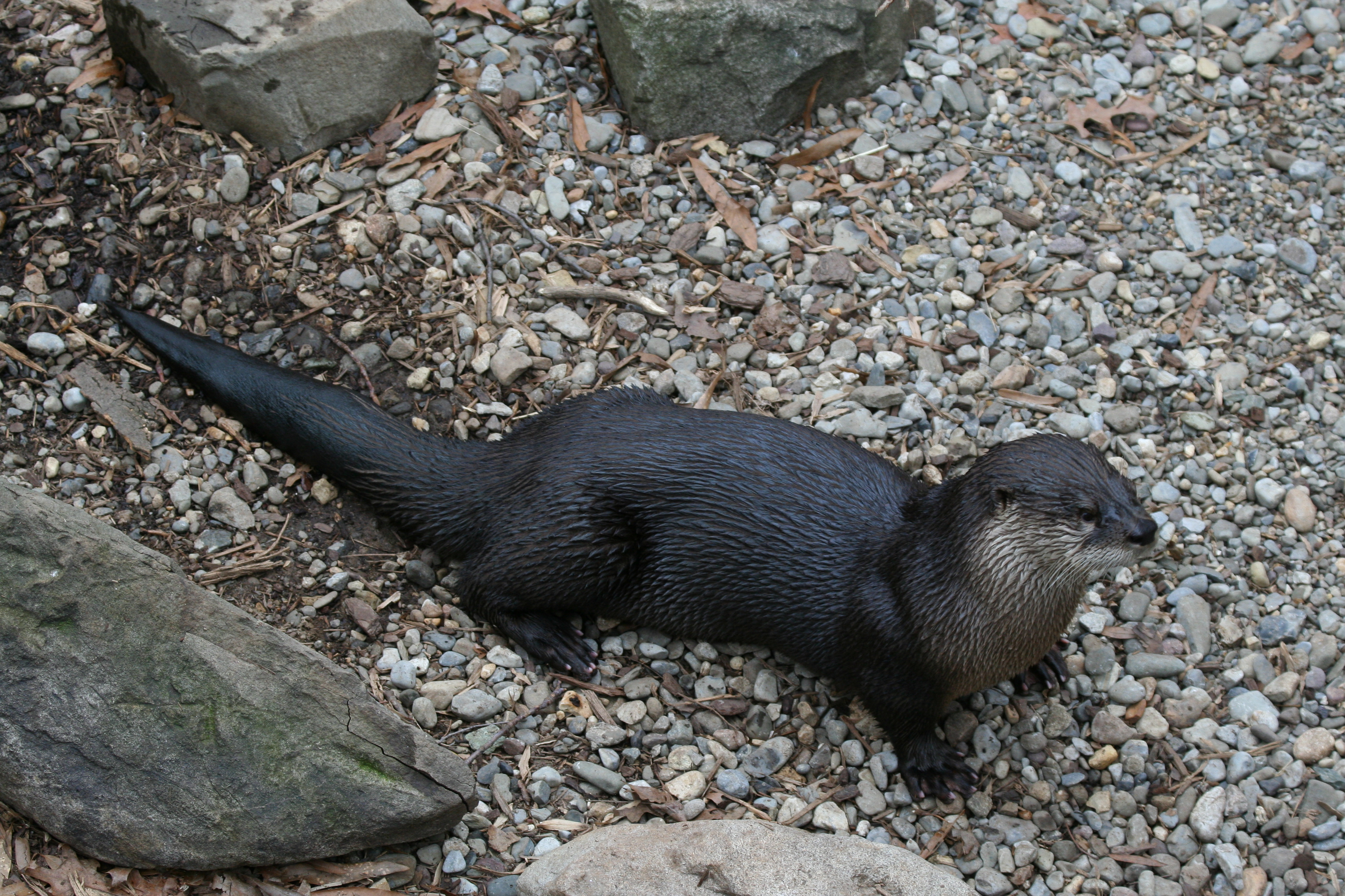 FileRiver Otter at the National Zoojpg   Wikimedia Commons 3456x2304