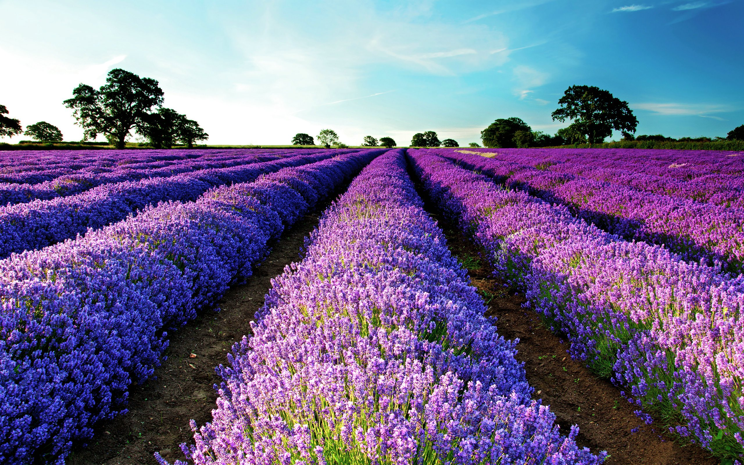 Lavender Field   Wallpaper High Definition High Quality Widescreen 2560x1600