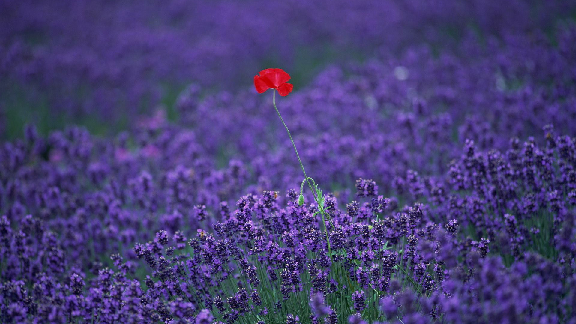 28 Lavender Hd Wallpapers 1920x1080