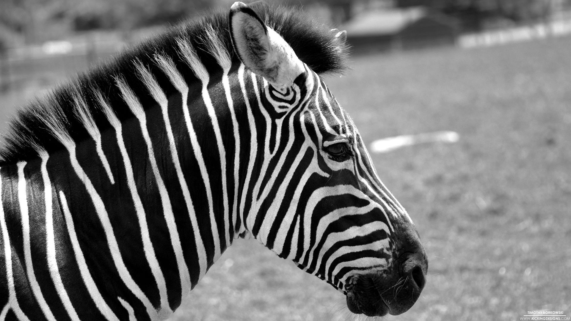 картинки тегом прикольные фотообои зебры для мобилки квартире небольшая, темная