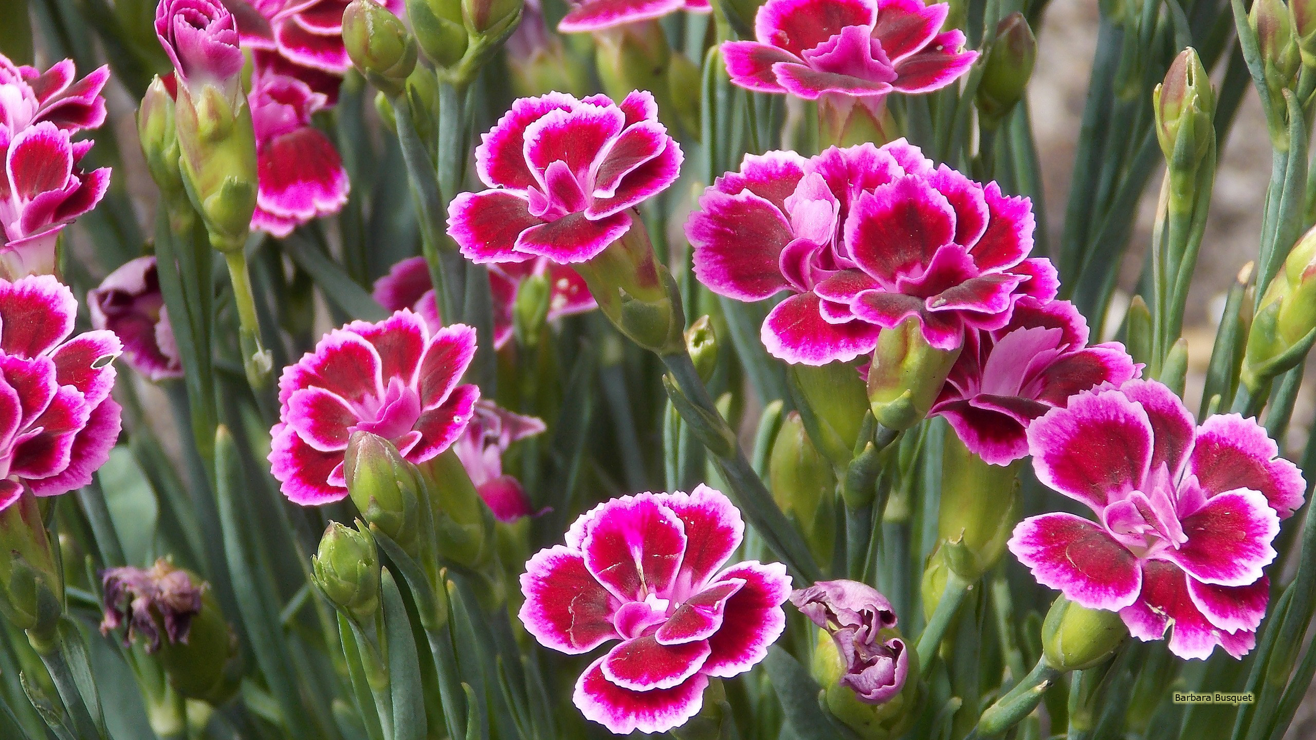 Pink carnation wallpapers Barbaras HD Wallpapers 2560x1440