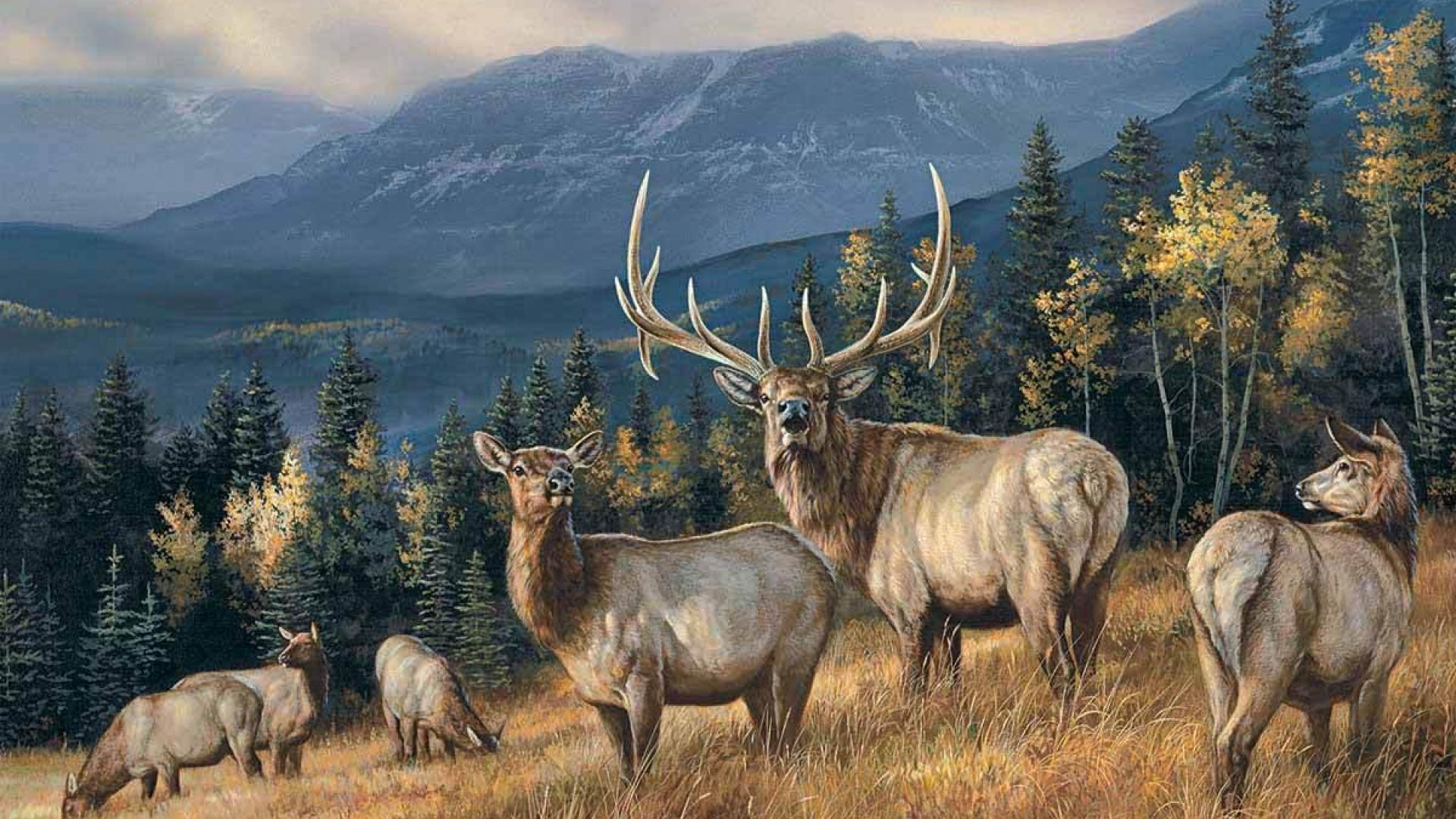 Elk bull wallpaper