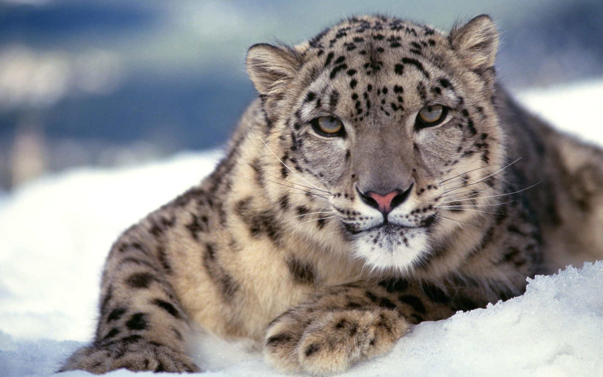 Scary Snow Leopard Wallpapers HD Wallpapers 1920x1200