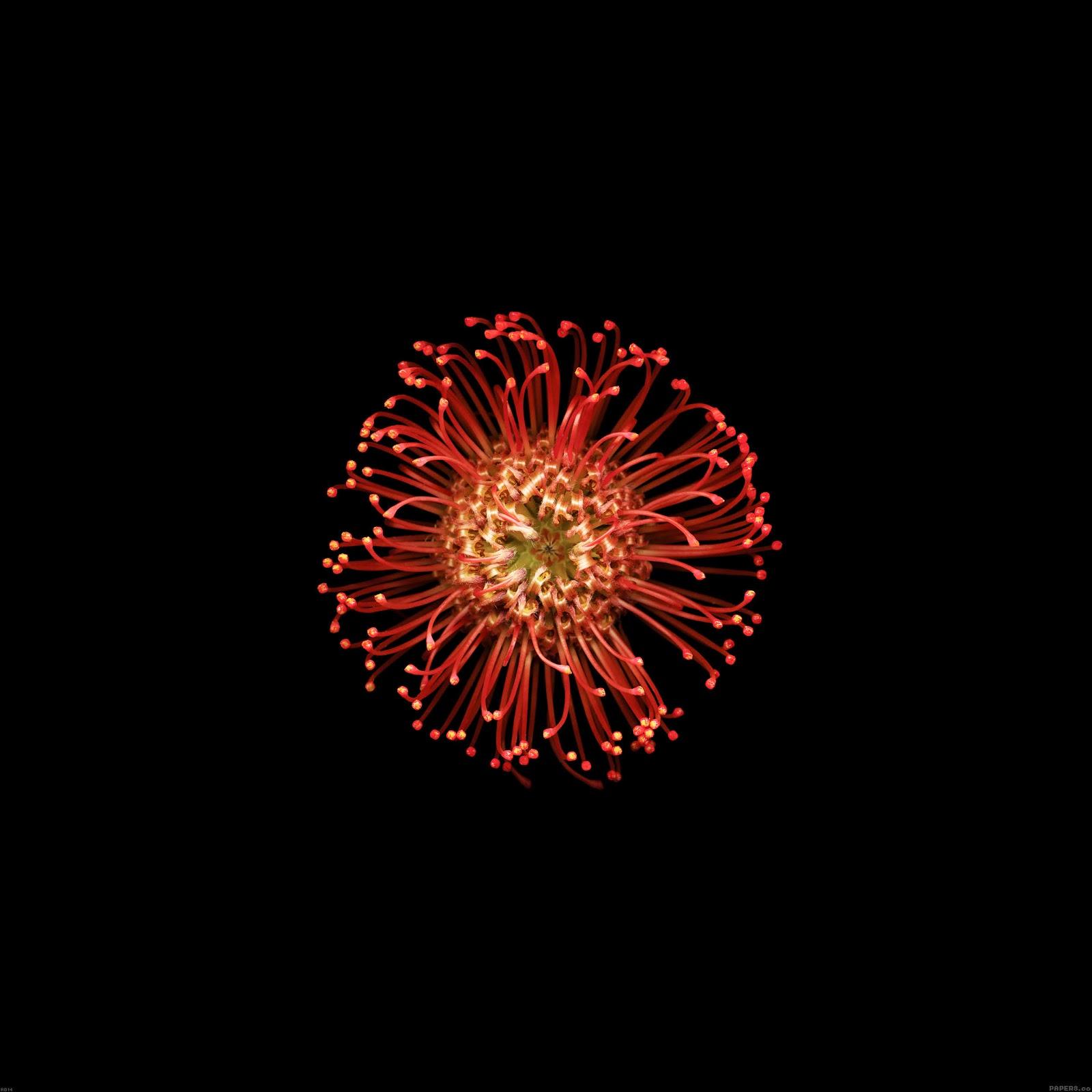 ad14 wallpaper ios8 iphone6 plus apple flower red dark 9 wallpaperjpg 1600x1600