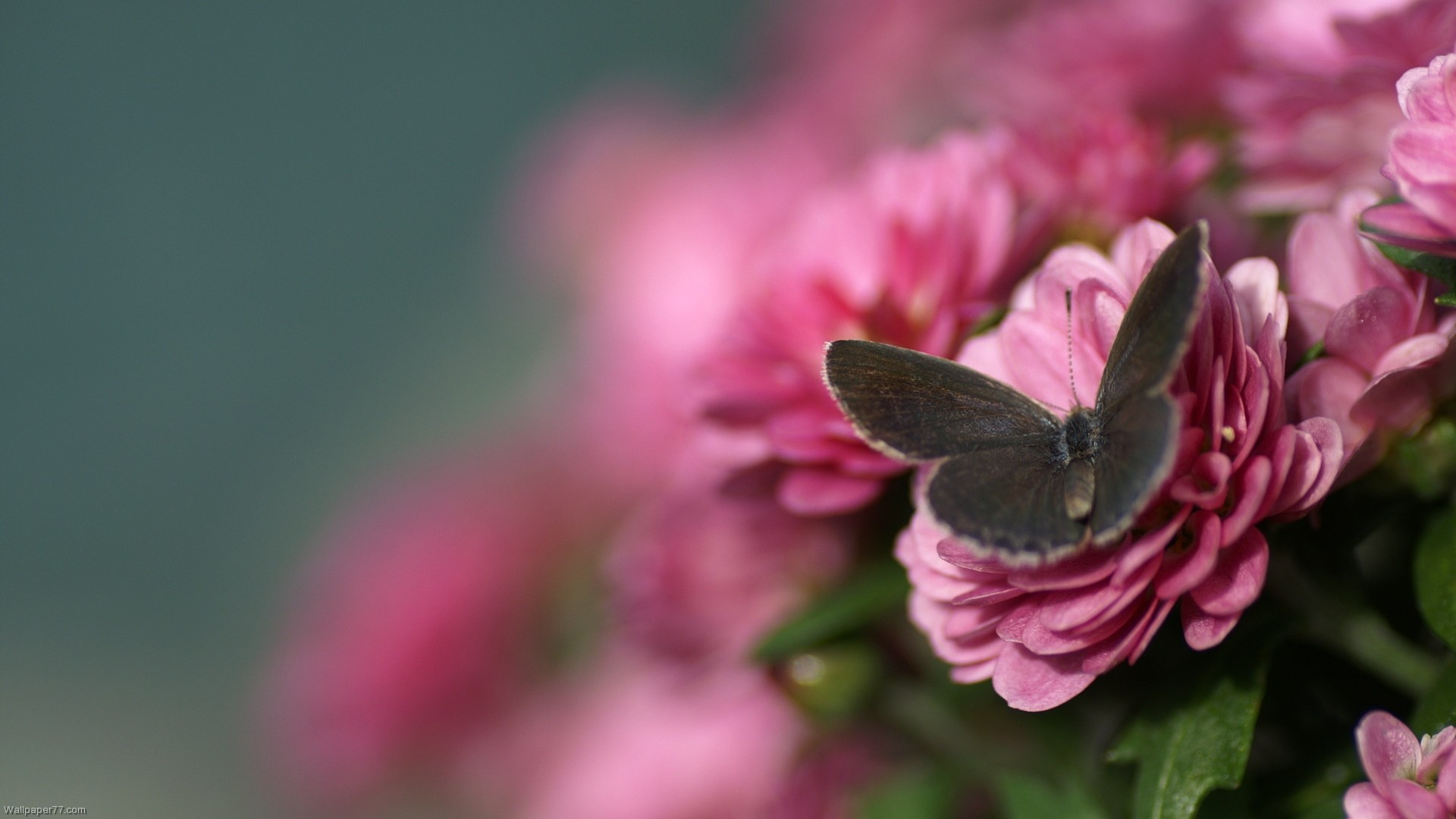 butterfly wallpaper Pink Butterfly Wallpaper 1920x1080