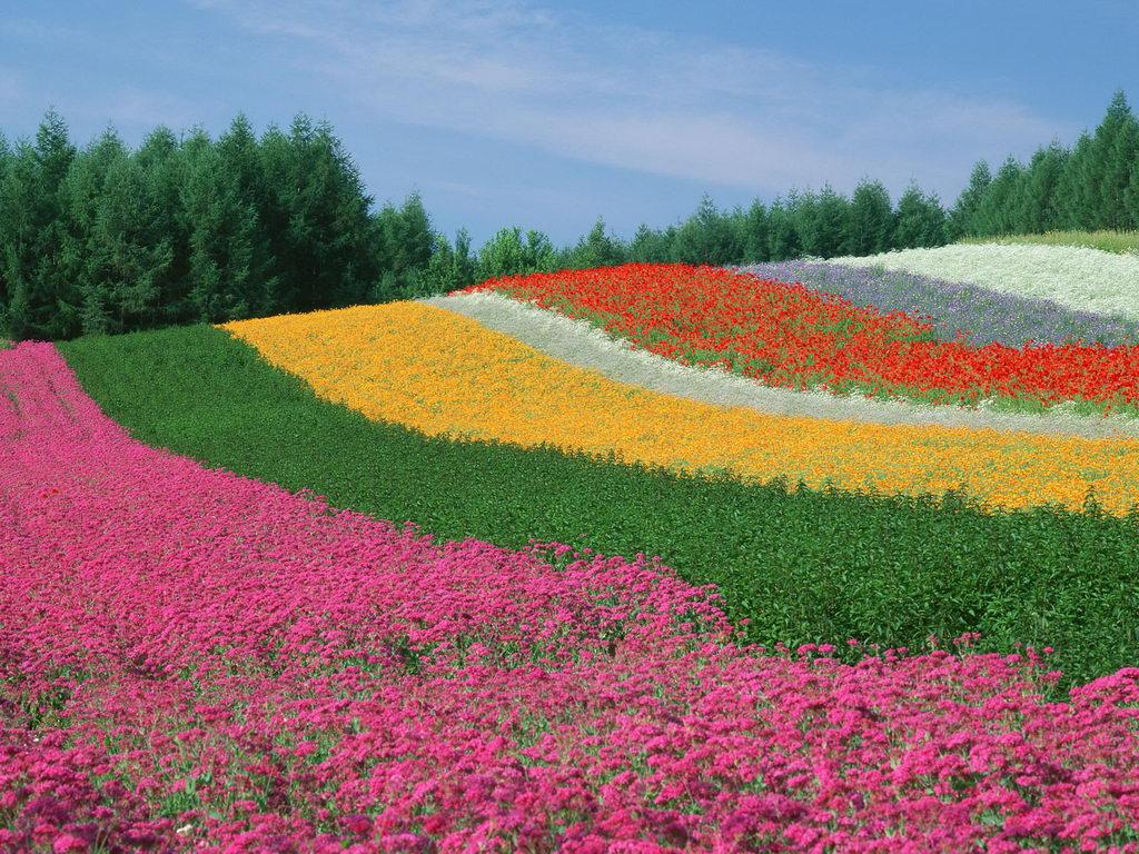 World Most Beautiful Flowers Colour Full HD Desktop Wallpapers 1024x768