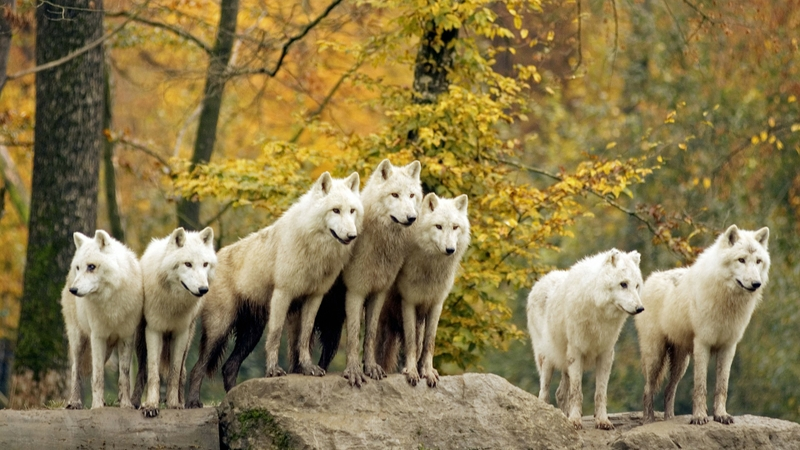 animals wildlife wolf arctic canadian 1920x1080 wallpaper Nature 800x450