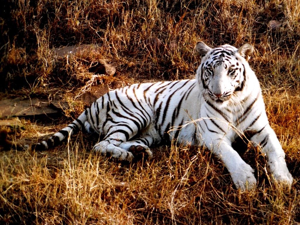 Tiger Wallpaper   Tigers Wallpaper 9981539 1024x768