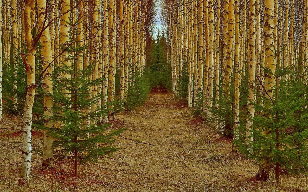 Delightful Birch Wood Path wallpapers Delightful Birch Wood Path 1280x800