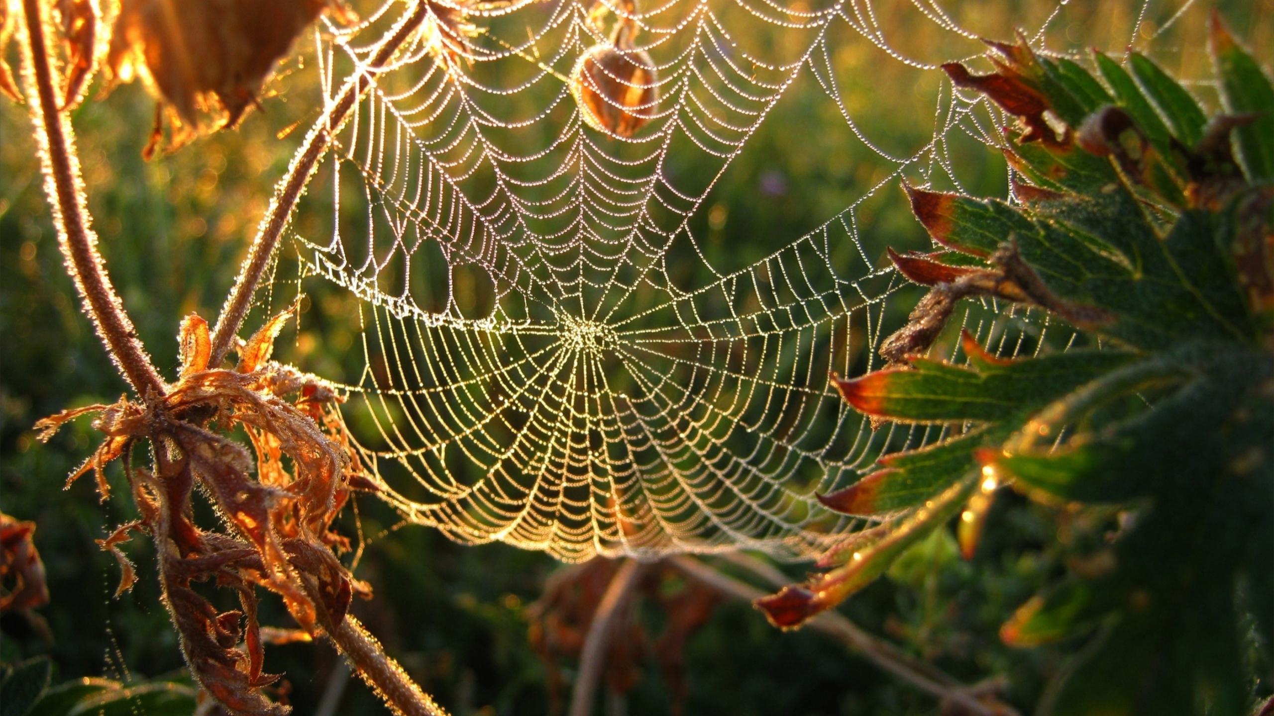Dew on spider web Mac Wallpaper Download Mac Wallpapers 2560x1440