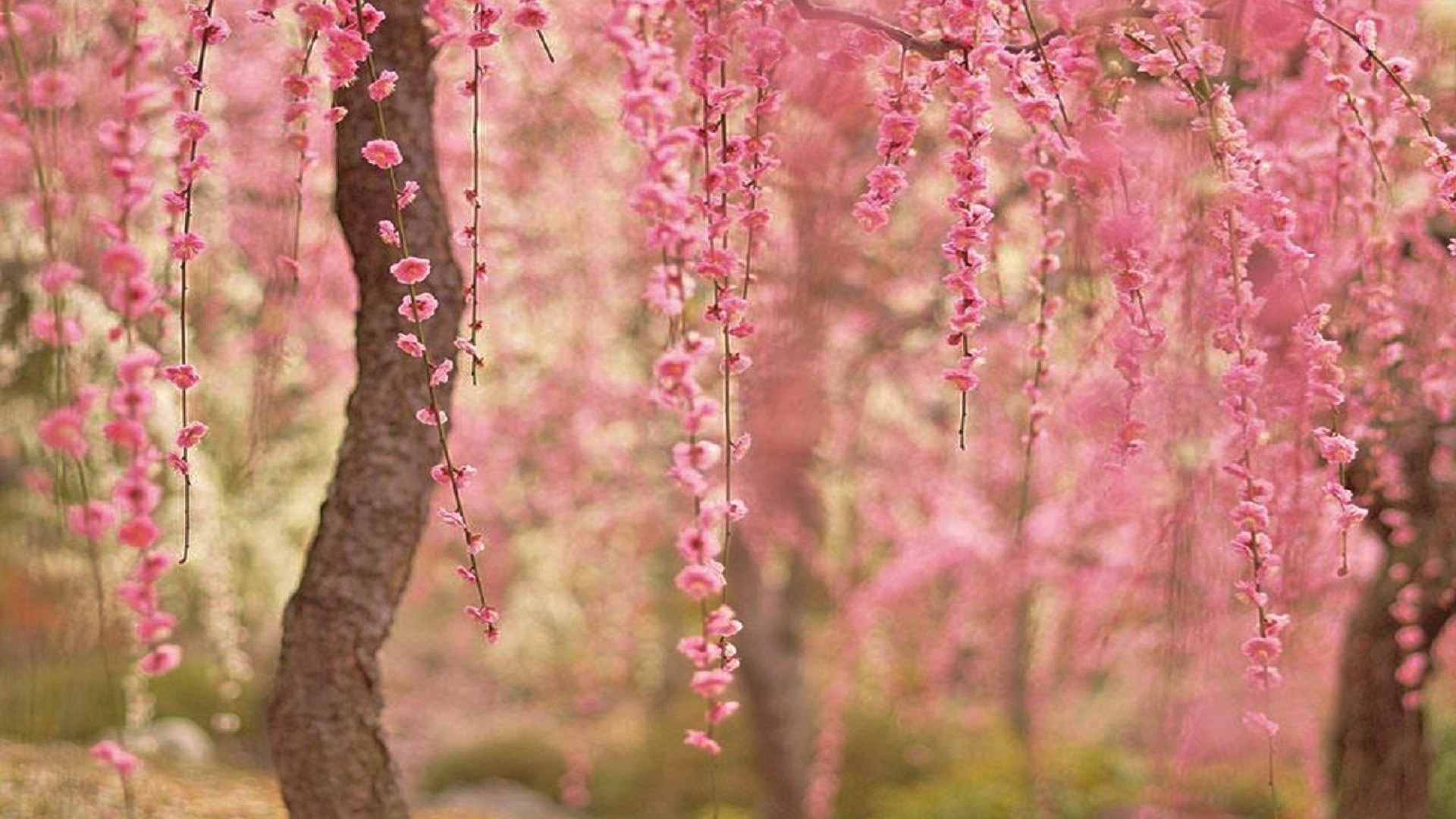 cherry blossom desktop wallpaper 1920x1080