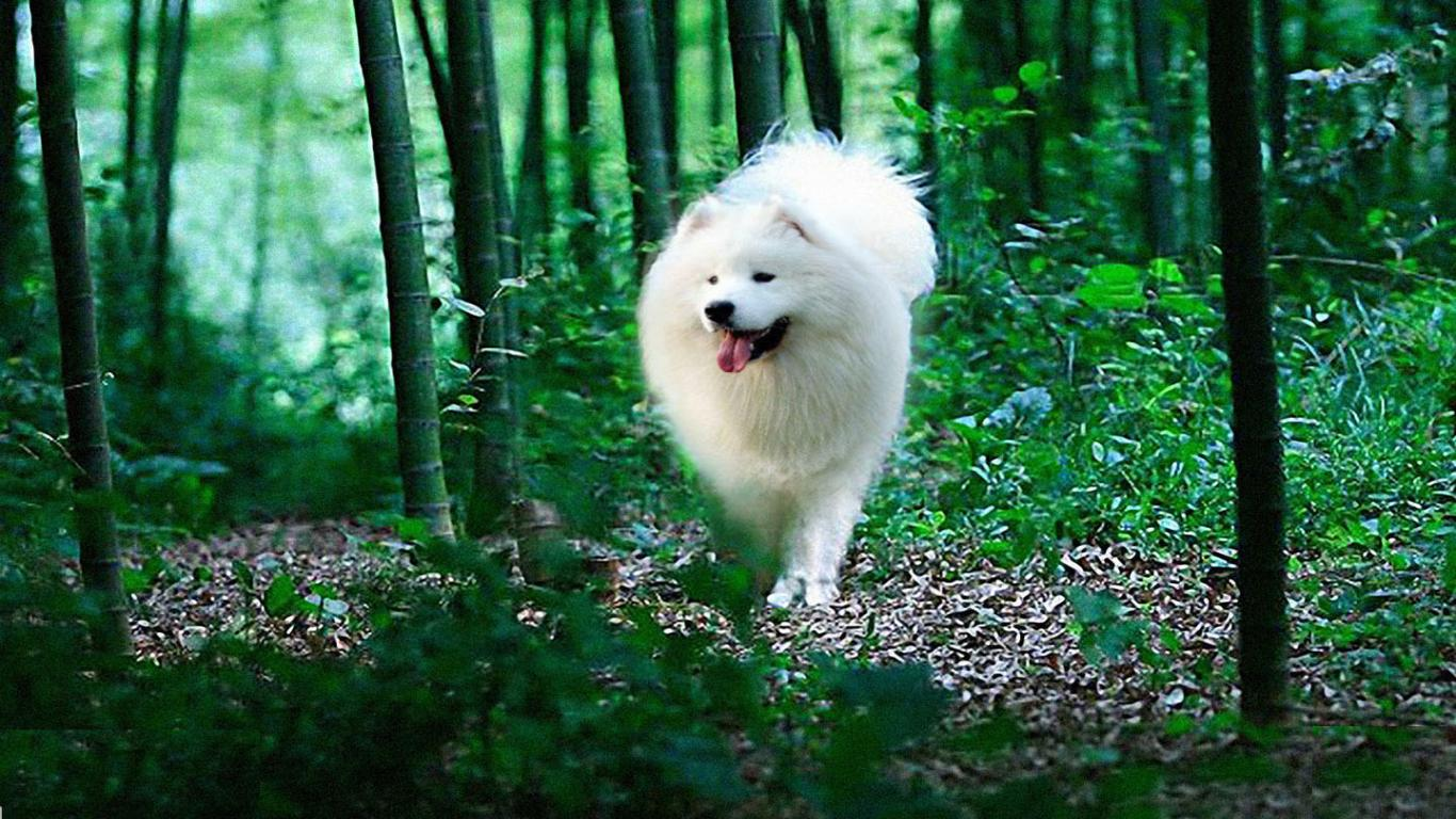 Samoyed Wallpapers and Background Images   stmednet 1366x768