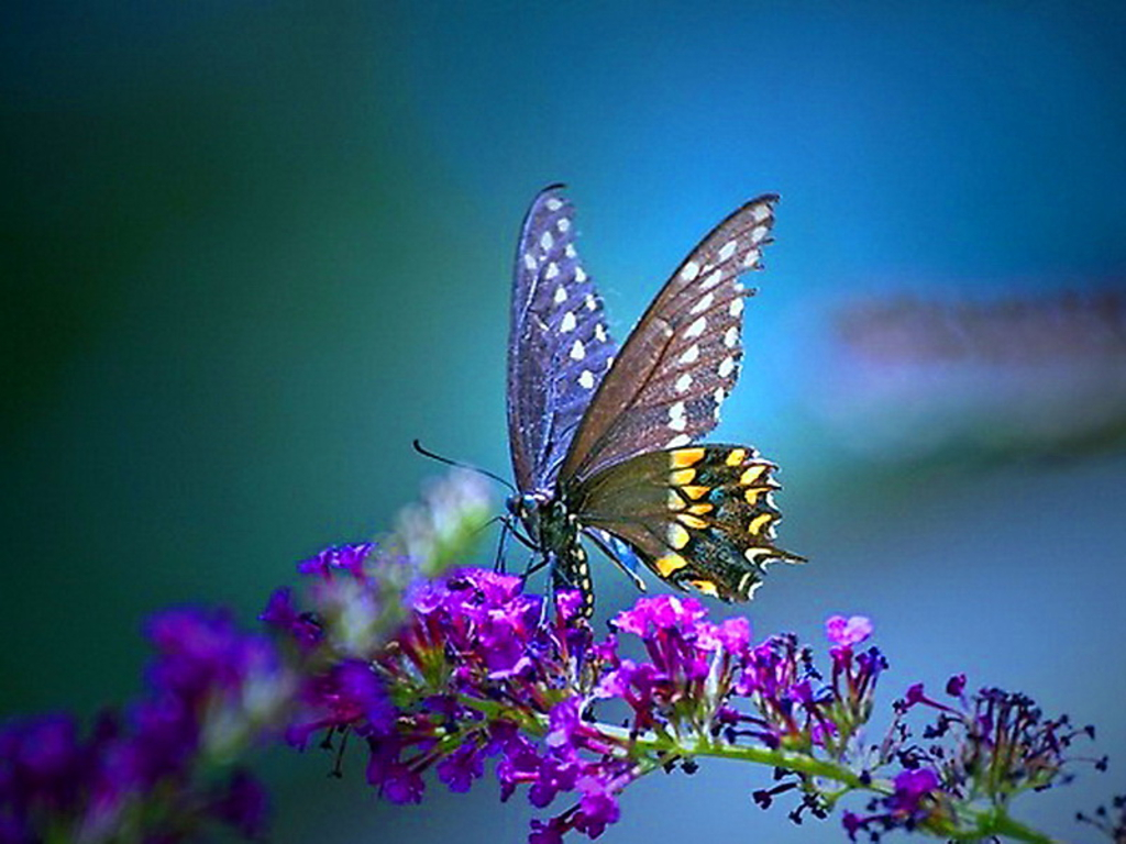 Butterfly Desktop Wallpapers Backgrounds Butterfly Butterfly 1024x768