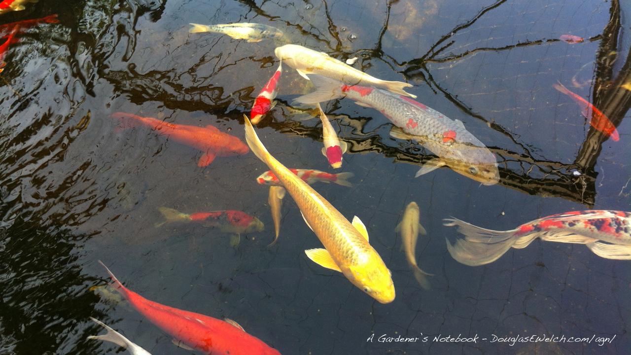 koi fish live wallpaper free download for tablet