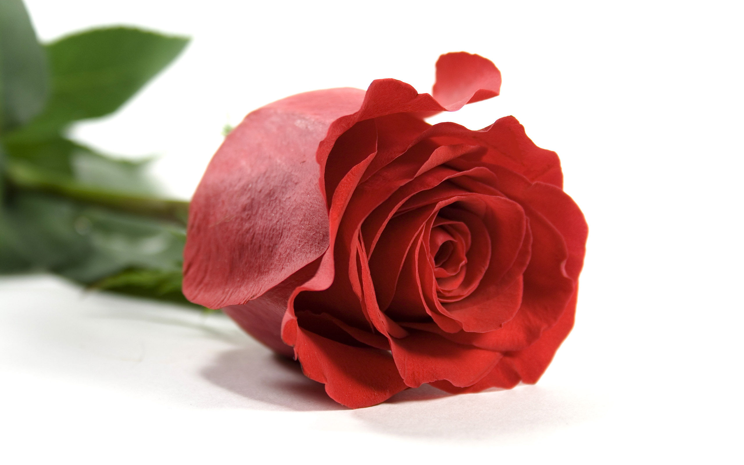 free wallpaper of roses - wallpapersafari