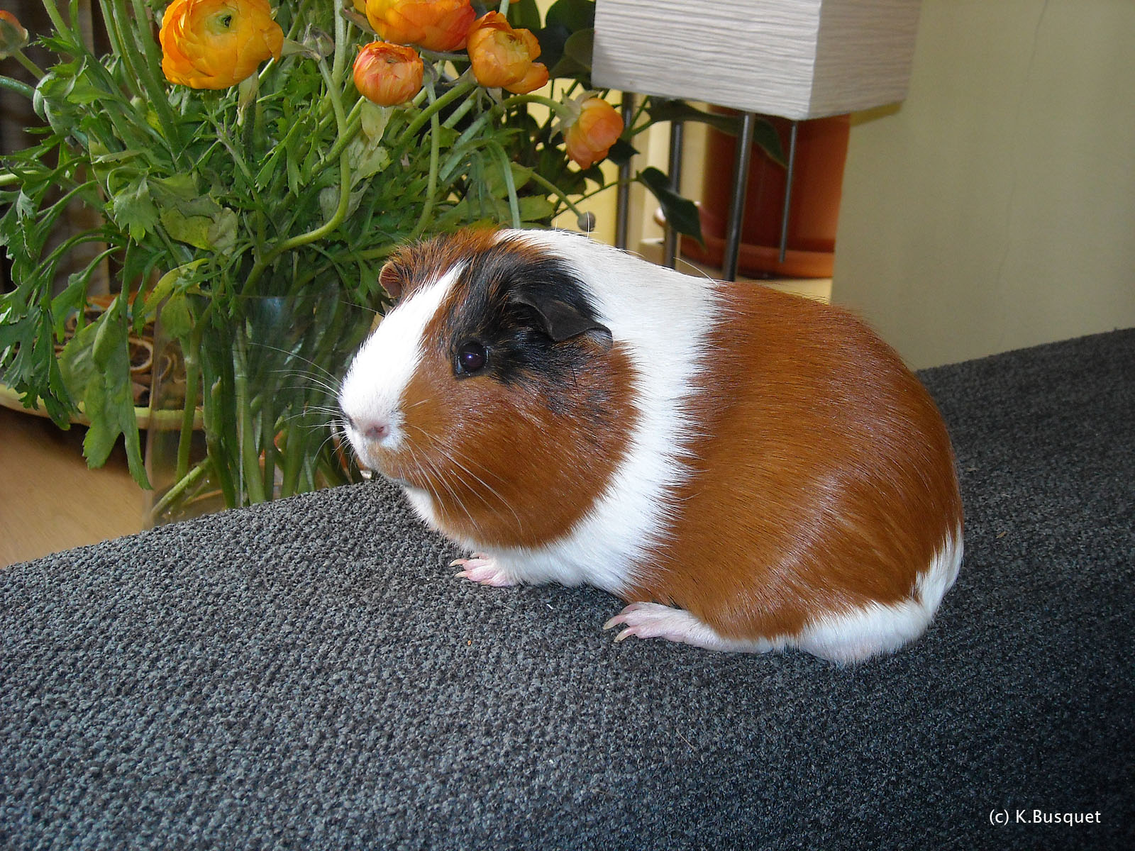 Very Sweet and Cute Animals Funny Guinea Pig wallpaper 1600x1200