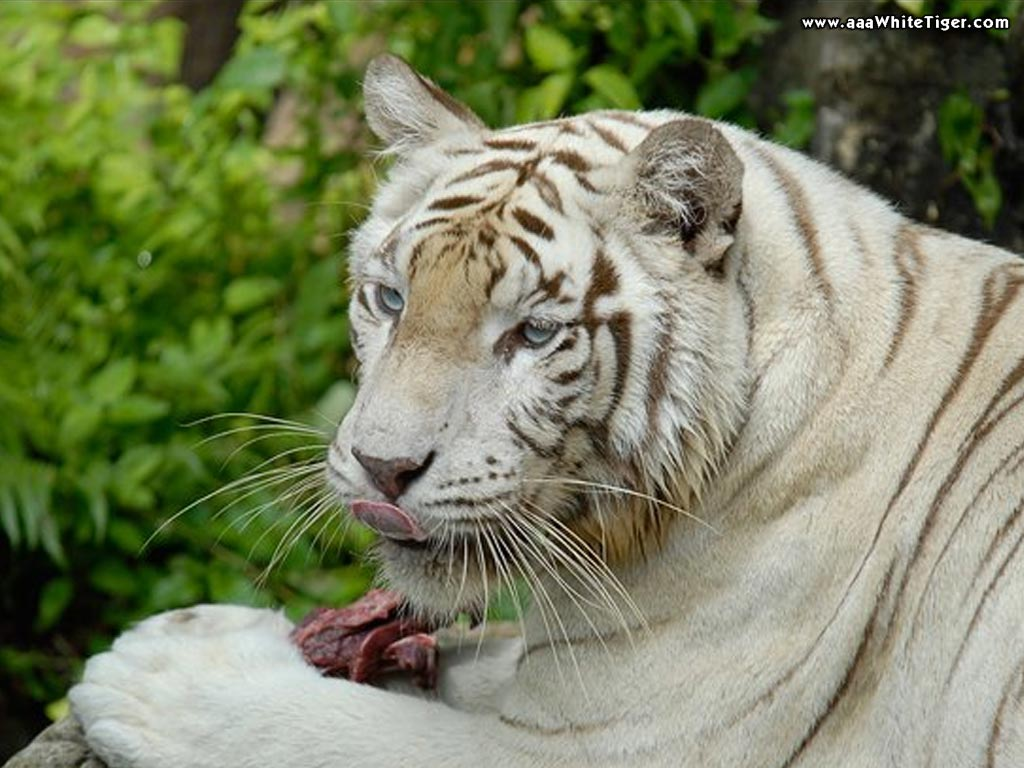 TIGER WALLPAPERS White Tiger Wallpapers 1024x768