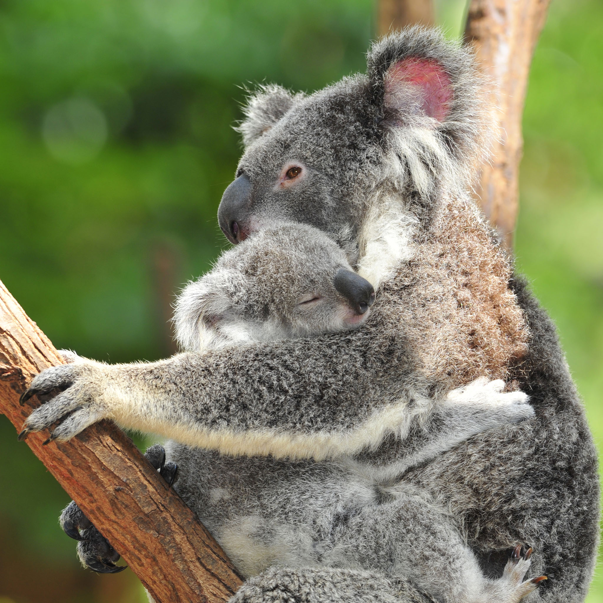 Baby Koala Wallpaper - WallpaperSafari